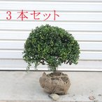 庭木:マメツゲ(玉作り)3本セット*(まとめ割)