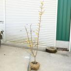 庭木:満月ロウバイ(ろうばい) 根巻き 大株 樹高約120cm 全高:約140cm ヤマト便(大型商品)発送