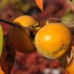 庭木:富有柿* 甘柿の大様とも呼ばれる代表種です