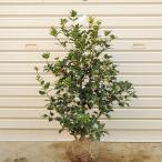 庭木:オニヒイラギ(ひいらぎ)
