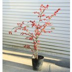 庭木:錦木(ニシキギ)