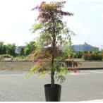 庭木:紅白しだれもみじ 全高:約150cm *佐川急便商品発送