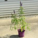 庭木:西洋ニンジンボク 紫