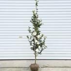 庭木:サザンカ(富士の峰) 樹高:約120cm 全高:約150cm ヤマト便大型商品発送
