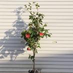 庭木:藪椿(ヤブツバキ) やぶつばき 樹高:約120cm 全高:約130cm ヤマト便大型商品発送
