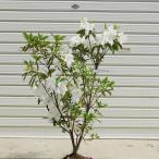 庭木:ヒラドツツジヒラドツツジ(白花)