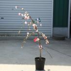庭木:源平しだれ桃