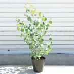 庭木:ユーカリ ポポラス* 樹高100cm 全高:120cm