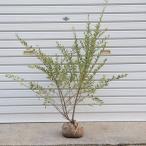 庭木:シルバープリペット(斑入りプリペット)