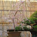 庭樹盆栽:しだれ桜(富士桜) *ヤマト便大型商品発送!