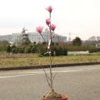 庭木:赤花モクレン(ガールマグノリア)