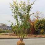 良品入荷  庭木:ハイノキ(はいのき) 常緑樹* ヤマト便大型商品発送 樹高140cm 全高:150cm
