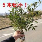 Yahoo!遊恵盆栽 Yahoo!店庭木:ヒメクチナシ/コクチナシ 姫梔子* お得な5本セット