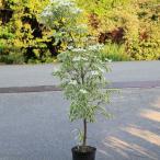 庭木:ヤマボウシ(ウルフアイ) 樹高:約130-140cm 全高:約150cm ヤマト便大型商品発送!