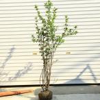 お庭にアクセントをお探しならコレに決まりです   庭木:黒花ろうばい/クロバナロウバイ 大株