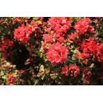 庭木:久留米つつじ/クルメツツジ (かがり火)さわやかな赤花です。