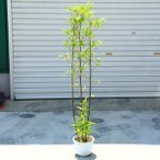 庭木:黒竹(くろちく) 樹高:100cm
