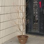 庭樹盆栽:湖上の舞(雲流性富士桜) 特選品