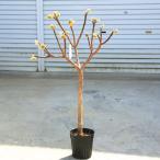 庭木:黄色大輪中国ミツマタ(三又)大株