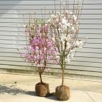 庭木:ミツバツツジ(三つ葉つつじ)ピンク花 大株