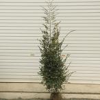 庭木:白花トキワマンサク(常磐万作)*ときわまんさく  樹高:約120cm 全高:約140cm
