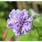 人気の八重咲き ムクゲ紫玉  大株 樹高:約150cm 全高:約170cm  ヤマト便大型商品発送