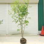 庭木:アオダモ(コバノトネリコ) 樹高120cm 全高140cm ヤマト便(大型商品)発送