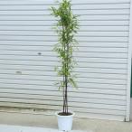 庭木:黒竹(くろちく) 樹高:120cm 全高150cm 大型商品発送!