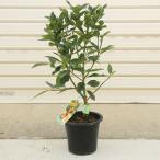 種なしの新品種です  果樹苗:キンカン(種なし金柑)ぷちまる* きんかん プチマル 接木苗 収穫 柑橘 実物 鉢植え