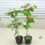 鉢植えでも可愛らしいお花が楽しめます 庭木:山法師(ヤマボウシ)*赤花or白花or源平 お選びください
