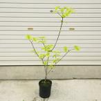 葉だけでも美しい庭木:ハナミズキ(花水木)チェロキーサンセット 黄斑葉、赤花  ポット植え