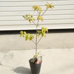 葉だけでも美しい庭木:斑入ハナミズキ(花水木)*チェロキー オーレア レインボー など