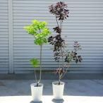 庭木:スモークツリー ロイヤルパープルorゴールデンスピリット