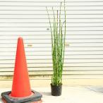 庭木・植木:トクサ(砥草)*とくさ 特大株