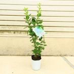 庭木:ブルーベリー ラビッドアイ系 *ラビットアイ系各種 B郡 暖地栽培向き