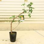 庭木・植木:五葉アケビ(ごようあけび) 太幹苗