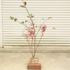 庭木:マユミ(まゆみ) オス木付き