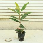 家庭果樹:庭木:ビワ(枇杷) クイーン長崎orなつだより 品種をお選び下さい!