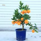庭木・植木・苗木:特良品!早生温州みかん ミカン 鉢植え 収穫 柑橘 実物  果物 蜜柑
