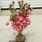 庭木:久留米つつじ クルメツツジ おいのめざめ(老の目覚め)*桃花一色の植えやすい色合い