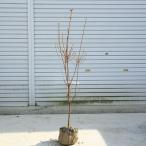 庭木:ミツバツツジ(三つ葉つつじ)白花*