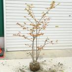 庭木・植木:ナツハゼ(なつはぜ)夏櫨 根巻苗*だんとつな紅葉の美しさ!