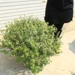めったに入らない幅広超大株 グランドカバー 特選庭木:アベリア(あべりあ) ラッキーロット*超大株
