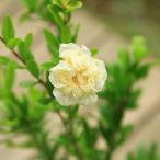庭木・植木苗:白花ざくろ(しろばなざくろ)*ザクロの珍品です