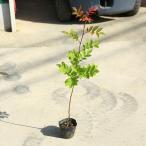 庭木苗・植木:ナナカマド(ななかまど)紅覆輪葉*美しい斑入り葉新品種!