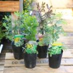 黄色いお花とやわらかい葉の人気者 庭木・植木:アカシア 品種色々  ミモザ、プルプレア、デアネイ、パール