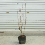 花材としても人気が高い 庭木・植木:ピンクネコヤナギ(桃色猫柳)