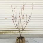 花材としても人気が高い 庭木・植木:ピンクネコヤナギ(桃色猫柳)根巻