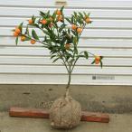 家庭果樹:キンカン(金柑)*根巻タイプ