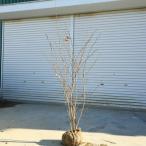 庭木:マルバノキ(紅マンサク)*樹高:約60-70cm 全高:約100cm